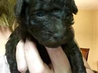 Tiny Trevor is an AKC, chocolate, male poodle who is