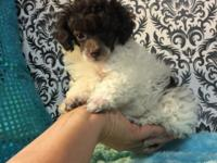 AKC Tiny Toy Poodle Male est adult weight 5lb included