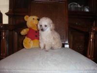 AKC TINY TOY MALE POODLE PUP $300.00. He is apricot and