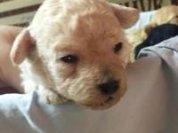 AKC tiny toy poodle puppies ready just in time for