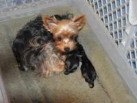 Little and Toto have 3 TINY male puppies born upon