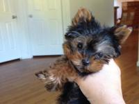 AKC tiny Yorkie male puppy, 12 weeks, and only weighs
