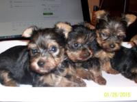Tiny Yorkies three female one male will certainly be