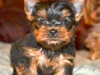AKC TINY YORKIE PUPPY, ADORABLE BABYDOLL FACE, SOLID