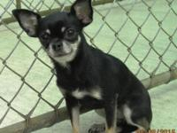 AKC reg., smooth coat female chihuahua, applehead, born
