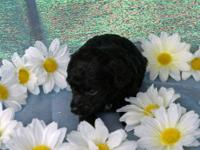 AKC Tiny toy and Teacup Poodles. . We have several