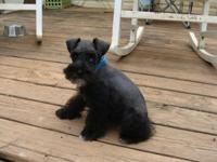 Gorgeous AKC Black male he is such a doll and very