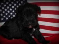 This little girl is Bailee. She is an AKC Toy Miniature
