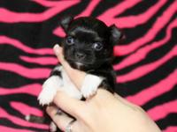 Tiny long coat black spotted on white chihuahua male