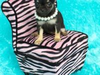 Beautiful AKC toy chihuahua young puppies. Very sweet