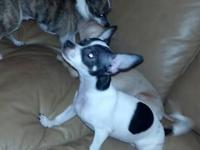 Zsa Zsa is currently a 4 month old toy Chihuahua