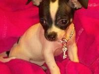 Zsa Zsa is currently a 7 week old toy Chihuahua