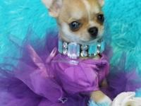 Beautiful long coat and short coat toy chihuahuas. Very