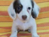 Darling AKC Toy Dachshund Chocolate & & Cream Piebald