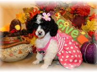 AKC TOY POODLE FEMALE, Black and White Parti, She is my