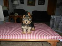 AKC MALE TOY YORKIE PUPPY. HE IS 13 WEEKS OLD & WEIGHS