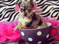 Lovely brief coat toy chihuahua males. Affectionate and