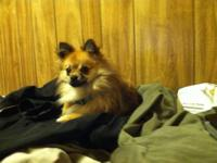 I have a sweet, young, AKC registered Pomeranian. His