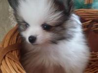 He is an adorable toy size Pom. Small fluff ball.