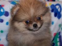 AKC Toy Pomeranians.Champion bloodlines.Should mature 5