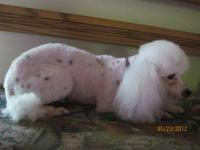 Toy female poodle. Born 9/9/2011. All our puppies come