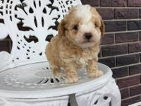 Beautiful, purebred toy poodle male and female puppy