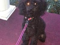 Mia is a 10 month old female AKC registered toy poodle.