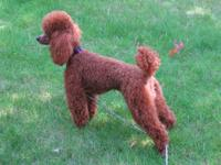 Gorgeous RED AKC registered, champion bloodlines.