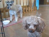 Beautiful red toy poodle male, AKC registered, intact.
