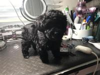 AKC Black Toy Poodle Puppies..The babies were