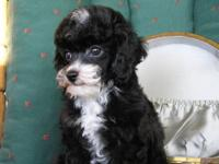 AKC Toy Poodle Puppies Born August 25th. Will be ready