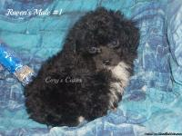 1 black & tan phantom male & 1 black male with white on