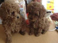 AKC Poodle young puppies prepared to go. Shots, Wormed,