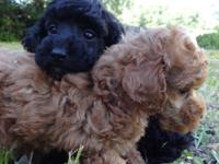 I have two male, AKC, Toy Poodle puppies, 9 weeks old.