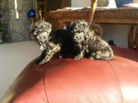 Adorable AKC Toy Poodle puppies for sale. They have