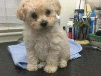 AKC Toy Poodle Puppies!! They are Cuties!! Born