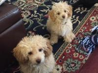 AKC Toy Poodle Puppies FOR SALE! Born June 13, 2014