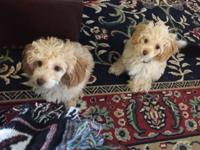 AKC Toy Poodle Puppies FOR SALE! Born June 13, 2014. We