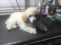 AKC Toy Poodle Puppy Cream Boy!!! We have 1 little Boy