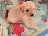 AKC Toy Poodle Puppies!! We have Beautiful Poo