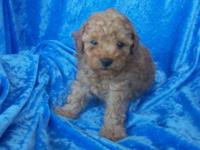 Apricot male poodle. Puppy will be vet checked and 1st