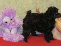 2 beautiful black girls available. AKC ltd reg. for pet
