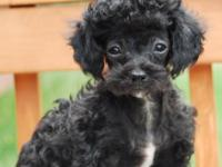 Black TOY size and small MINIATURE size male puppies