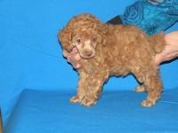 I have four toy poodle They were born on march 15 2013.