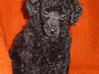 Dante is a wonderful young poodle. He is smart, loving