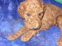 !!!!!! AKC toy Poodles!!!!!! Get a poodle from us for
