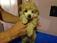 very cute toy poodles for sale, all AKC registered. I