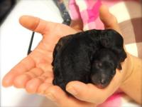 AKC Toy Poodle (No pepers) Born on March 23, 2015 -