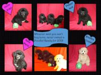 AKC Toy Poodles prepared for their permanently houses!