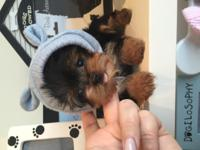 AKC registered Toy Yorkie Puppies for Sale. They will